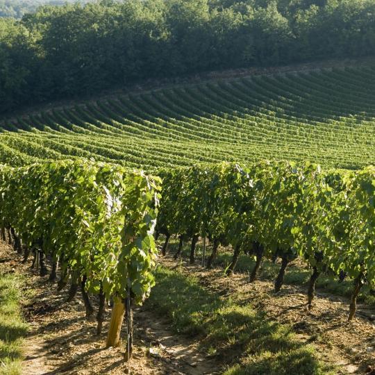 Vignes de Cahors