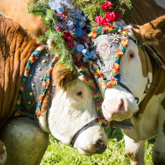 Experience a traditional Almabtrieb cattle festival