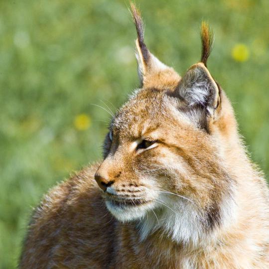 Lynx in nationaal park Doñana