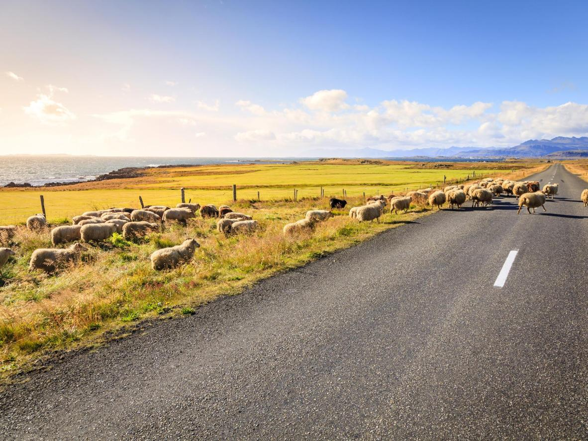 A herd of sheep crossing the Ring Road, Iceland