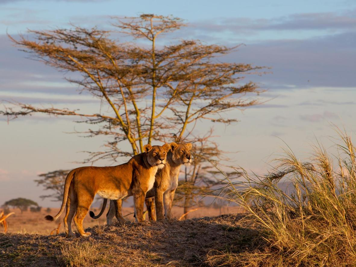 Help researchers ensure the long-term survival of lions in South Africa