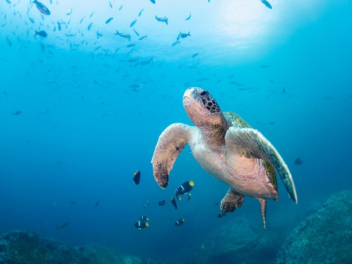 Partake in ecosystem restoration and research turtles in the Galápagos