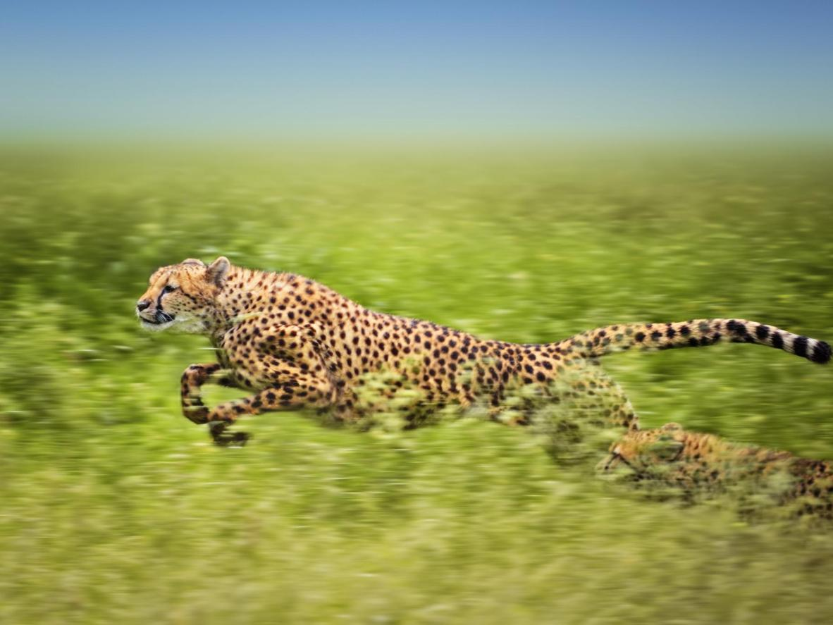 Two african cheetahs running fast. The second one is almost hidden beneath the high grass