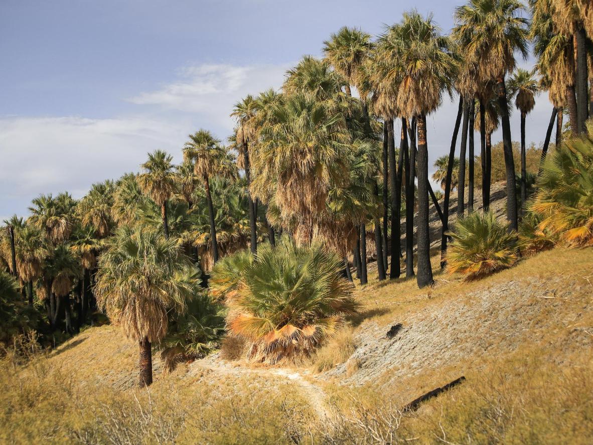 Swaying California Fan palm trees dominate the surrounding desert