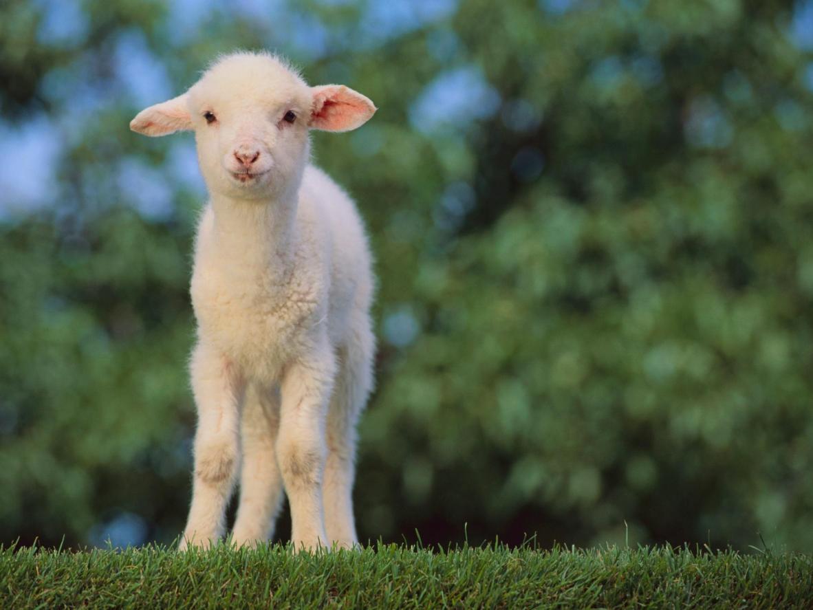 Der bliver født hundredvis af lam her på gården hvert forår