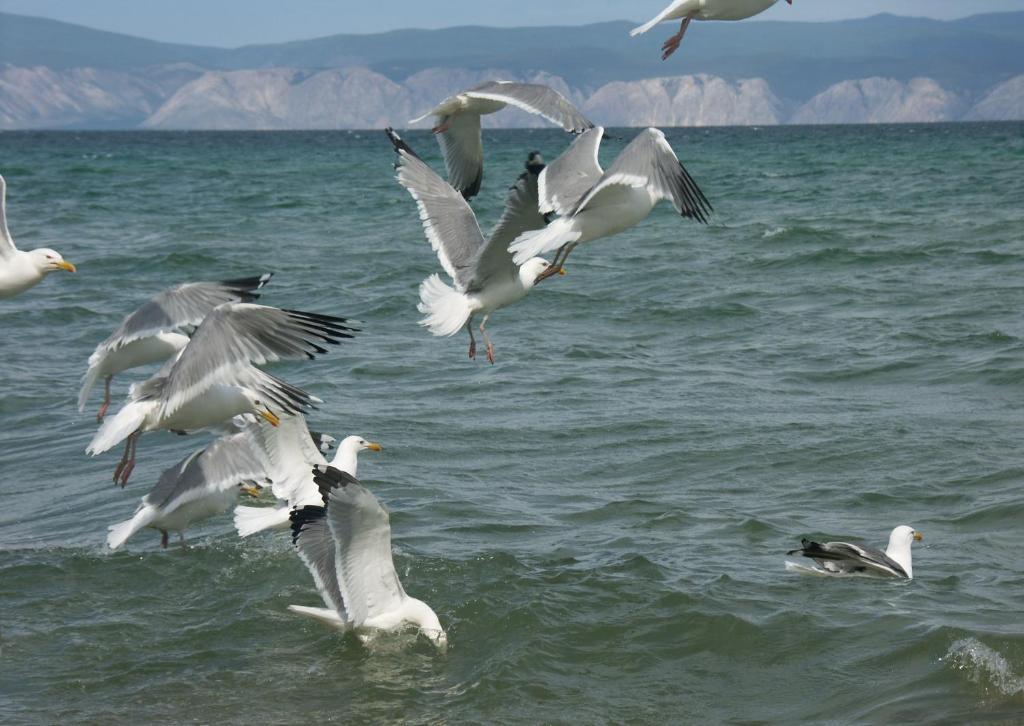 Сколько птиц на байкале фото